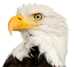 Bald Eagle PNG Transparent icon png
