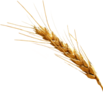 Barley PNG Clipart icon png