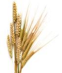 Barley Transparent Background icon png