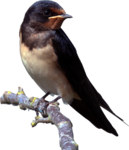 Barn Swallow PNG Clipart icon png