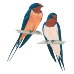 Barn Swallow Transparent PNG icon png