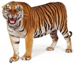Bengal Tiger PNG Clipart icon png