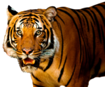 Bengal Tiger PNG HD icon png