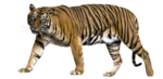 Bengal Tiger PNG Picture icon png