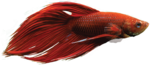 Betta PNG HD icon png