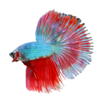 Betta PNG Transparent Image icon png