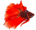 Betta Transparent Background icon png