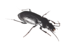 Black Beetle PNG HD icon png