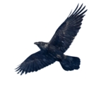 Blackbird PNG Image icon png