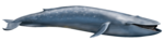 Blue Whale PNG Transparent icon png
