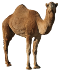 Camel PNG Picture icon png