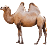 camel icon png