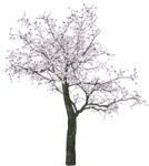 Cherry Tree PNG Transparent Image icon png