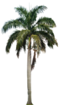Coconut Tree PNG HD icon png