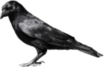Common Raven PNG File icon png
