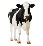 Cow PNG Clipart icon png