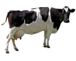 Cow PNG File icon png