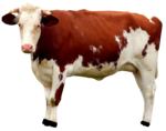 Cow PNG Free Download icon png