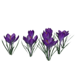 Crocus PNG Photo icon png