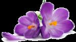 Crocus PNG Transparent Image icon png