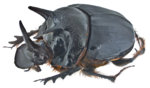 Dung Beetle PNG Transparent Image icon png