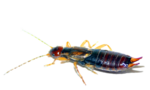 Earwig PNG Transparent Image icon png