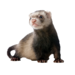 Ferret Download PNG Image icon png