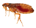 Flea PNG Transparent Picture icon png