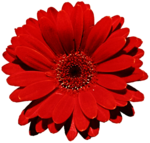 Gerbera PNG Photo icon png