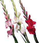Gladiolus PNG File icon png