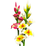 Gladiolus PNG Photo icon png