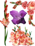 Gladiolus PNG Photos icon png