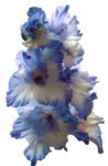 Gladiolus PNG Transparent Image icon png
