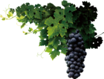 Grapevine PNG Transparent icon png