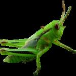 Grasshopper Transparent PNG icon png