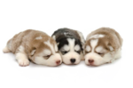 Husky PNG Background icon png