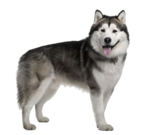 Husky PNG Image Free Download icon png