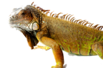 Iguana PNG Picture icon png