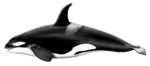 Killer Whale Download PNG Image icon png