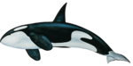 Killer Whale PNG Free Download icon png