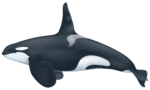 Killer Whale PNG Transparent HD Photo icon png