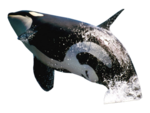 Killer Whale Transparent Background icon png