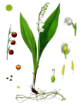 Lily of The Valley PNG Transparent Image icon png