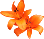 Lily PNG Photo icon png
