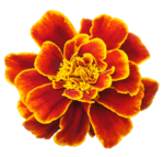 Marigold PNG Clipart icon png