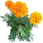 Marigold PNG Image icon png