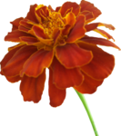 Marigold PNG Photos icon png