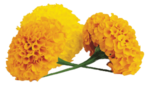 Marigold Transparent PNG icon png