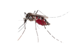Mosquito PNG Photos icon png
