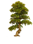 Old Tree PNG icon png